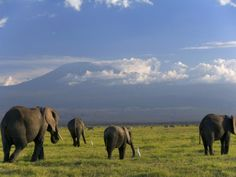 Elephant, Mt. Kilimanjaro, Masai Mara National Park, Kenya Photographic Print by Peter Adams