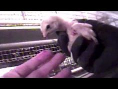 McDonald's Cruelty: The Rotten Truth About Egg McMuffins