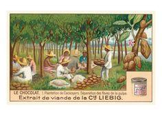 Chocolate Plantation, Cacao Trees