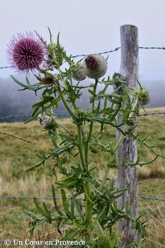 Thistle on the Aubrac plateau Thistle, Wild Flowers, Plants, Old Fences, Farm, Country Fences, Beautiful Flowers, Flowers, Nature