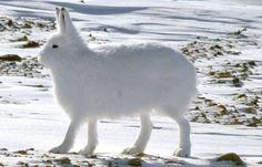 北極ウサギ