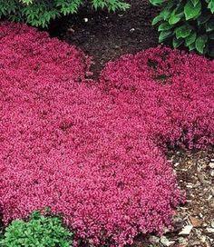 All you can eat: Spicy Pink Thyme instead of grass. Bodendecker Thymian als Rasenersatz für sonnig durchlässigen Boden.Duftend und essbar!