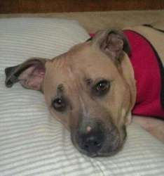 Sugar is an adoptable Pit Bull Terrier Dog in Harriman, TN. UPDATE!!!!! Sugar has been spayed, micro chipped, vaccinated and treated for HW - as a matter of fact - she is now HW NEGATIVE!!!!! Sugar is...