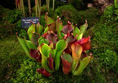 Carnivorous Plants at RHS Chelsea Flower Show (NOTCOT)