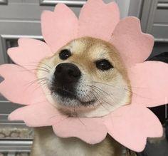 𝓘𝓼𝓻𝓪'𝓪 🏹 Dog Type : Shiba Inu – Keep up with the times. Cute Funny Animals, Cute Baby Animals, Funny Dogs, Animals And Pets, Fluffy Animals, Cute Puppies, Cute Dogs, Corgi Puppies, Photo Chat