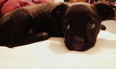 Boston Terrier Pitbull puppy, so cute!