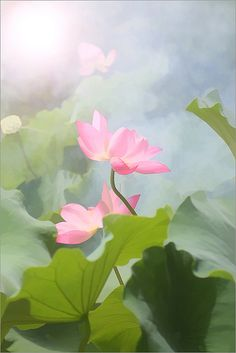 Lotus Flower Pictures / Photos of Lotus Flowers Exotic Flowers, Beautiful Flowers, Tropical Flowers, Colorful Flowers, Pink Flowers, Lotus Flower Pictures, Lotus Painting, Pink Lotus, Lily Pond