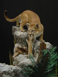 Mountain lion taxidermy - idea for stalking big horn sheep