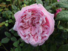Englische Rose Spirit of Freedom ® Ausbite ® Züchter David Austin 2002
