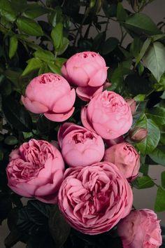'Happy Piano' - Tantau (2013).  TH. Langlevende, zeer  regenbestendige, roze (snij)bloemen (6-8cm). Gezond. 100cm x 50cm.