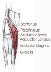 adductor magnus  google search  anatomy  pinterest  search