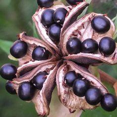 Paeonia anomala, kuolan pionin siemenkota, by Heikki Rantala Flower Power, Natural Beauty, Fruit, Nature, Flowers, Pictures, Gardening, Photos, Naturaleza