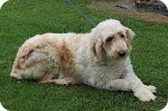 Liberty Center, OH - Goldendoodle. Meet Petunia, a dog for adoption. http://www.adoptapet.com/pet/16470865-liberty-center-ohio-goldendoodle