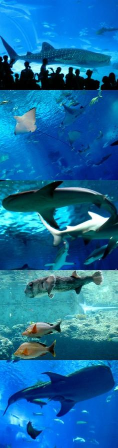 The Okinawa Churaumi Aquarium is located within the Ocean Expo Commemorative National Government Park at the northwestern tip of Okinawa's main island (Japan).