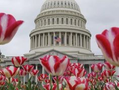 An American flag, framed by spring tulips, is flown at half-staff at the nation's Capitol in Washington DC.