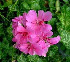 Pelargonium peltatum 'White Mesh' Geraniums, Mesh, Plants, Florals, Planters, Plant, Planting, Fishnet