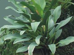 Philodendron cannifolium