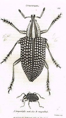 "Shaw's Zoology (Insects) - ""BEETLE - CURCULIO"" - Copper Eng. - 1805"