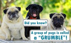 "Pet Connection on Twitter: ""@nylabone We definitely wouldn't grumble about having a load of pugs! 😂"""
