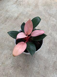 Hanging Plants, Indoor Plants, Decoration Plante, Pink Plant, Plants Are Friends, Tropical Plants, Tropical Garden, Paludarium, My Secret Garden