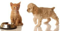 Photo about American cocker spaniel walking towards orange tabby kitten that is sitting in front of food dish. Image of feed, puppy, adorable - 7129906 Online Pet Supplies, Dog Supplies, Truth About Pet Food, Animal Nutrition, Pet Nutrition, Training Your Puppy, Love Pet, Dog Quotes, Animal Quotes