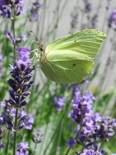 ~butterfly on lavender~ Such a soft colour for a butterfly against the purple of the lavender.