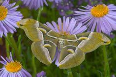 Darrel Gulin Photography | Gallery | Silk Moths