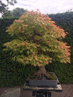 20 graines Acer Shirasawanum Aureum Yellow Moon Bonsai Maple