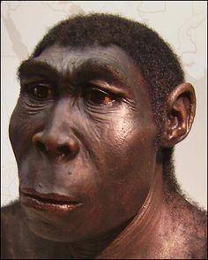 Den utdöda människoarten Homo erectus. Den utdöda människoarten Homo erectus En rekonstruktion av människoarten Homo erectus.