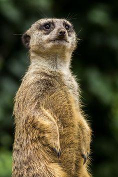 Meerkat Closeup.