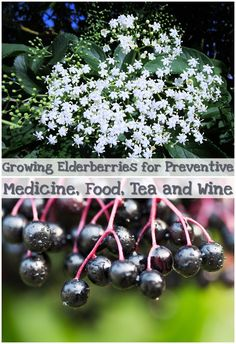 Growing Elderberries for Preventive Medicine, Food, Tea and Wine - Elderberries and elderflowers are often found in natural remedies for cold and flu, but they have many other health benefits as well. You can consume the fragrant flowers and ripened berries of the Sambucus Nigra, raw or cooked, but not the green ones. All other elderberry fruits are edible cooked only.