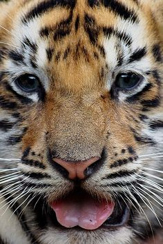 Baby Tigers have the cutest eyes