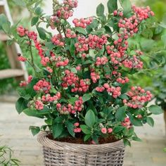 Blueberry Pink Lemonade. Vacinium Pink Lemonade are a unusual but very rewarding Blueberry to grow in the garden,. They produce blush white flowers in spring, followed by sweetly flavoured and good textured Pink Blueberries in August.