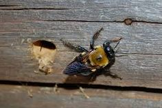 carpenter bees sting  #carpenter #beessting