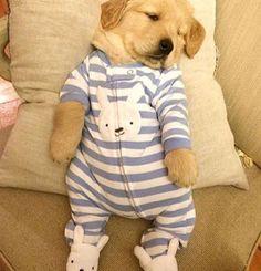 Golden retriever puppy - pinterest ⇒ @micapica