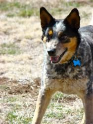 #Adopt Zev! an Australian Cattle Dog (Blue Heeler), Dog in #Scottsdale #ARIZONA