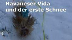Hier geniesst Havaneser Vida mit Freundin Yara den ersten Schnee.Die beiden staunen und toben was das Zeug hält. Viel Spaß beim Zuschauen.Freue mich über Kommentare, Likes und Abos