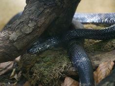 http://faaxaal.forumgratuit.ca/t3400-photo-de-serpent-couleuvre-de-l-amour-elaphe-schrenckii-russian-rat-snake-siberian-rat-snake-manchurian-black-water-snake