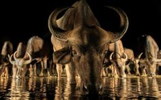 A herd of African water buffalo drink from a watering hole at night in South Africa. Andreas Hembcaught the late night gathering at the Zimanga Private Game Reserve, in Kwa-Zulu Natal last month.