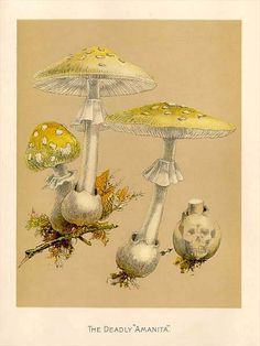 "MykoWeb -- Color Plates from ""Our Edible Toadstools and Mushrooms"""