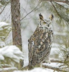 Wintery Owl