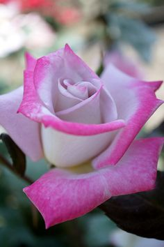 Hybrid Tea Rose: Rosa 'Red Moon'
