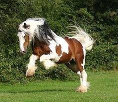 tinker paard - Google zoeken