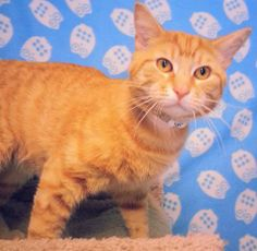 Meet Simba 20210 a Petfinder adoptable Domestic Short Hair Cat | Prattville, AL | Simba is a large-framed, orange, male tabby. Simba was on his own until he wandered into a nice...