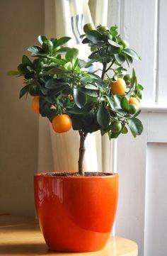 Arvores Frutiferas em vasos