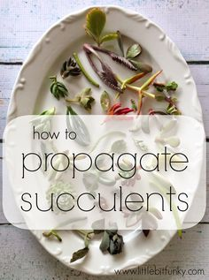 to Propagate Succulents! {or how to make more succulents from other succulents} How to Propagate Succulents! {or how to make more succulents from other succulents}How to Propagate Succulents! {or how to make more succulents from other succulents} Succulent Gardening, Cacti And Succulents, Planting Succulents, Container Gardening, Planting Flowers, Succulent Cuttings, How To Propagate Succulents, Air Plants, Garden Plants
