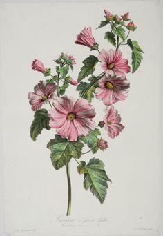 Vintage Botanical Prints, Botanical Drawings, Nature Illustration, Botanical Illustration, Botanical Flowers, Botanical Art, Hibiscus Rose, Sibylla Merian, Gothic Pattern