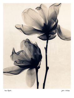 Saucer Magnolia Art Print by Judith Mcmillan at Art.com