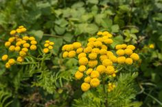Fun fact: Blue Tansy oil is blue in color, however, it's flowers are not. The oils is blue due to the azulene in it. If you have sore muscles or skin care issues, Blue Tansy is your oil!
