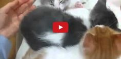 Three Little Kittens are Asleep, but Where is the Fourth?  This video is cute, adorable and hilarious all at the same time!